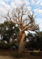 Где растет баобаб в африке
