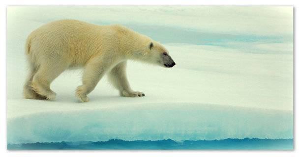 Информация про белого медведя