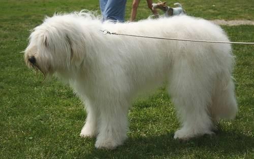Белая лохматая собака порода