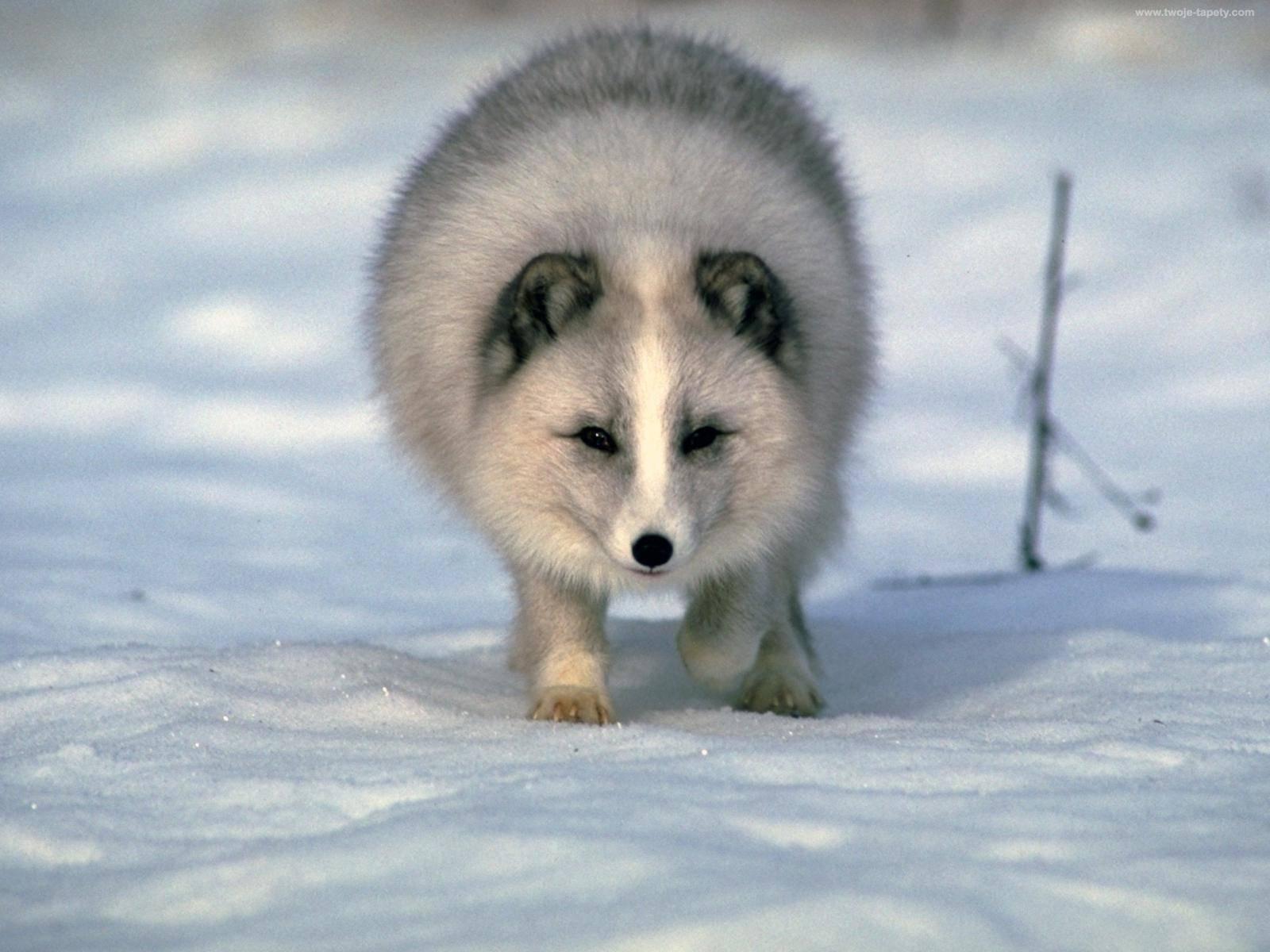 Арктический песец