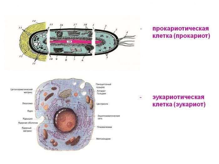 Эукариотами являются