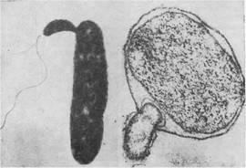 Укажите основные признаки прокариотических организмов