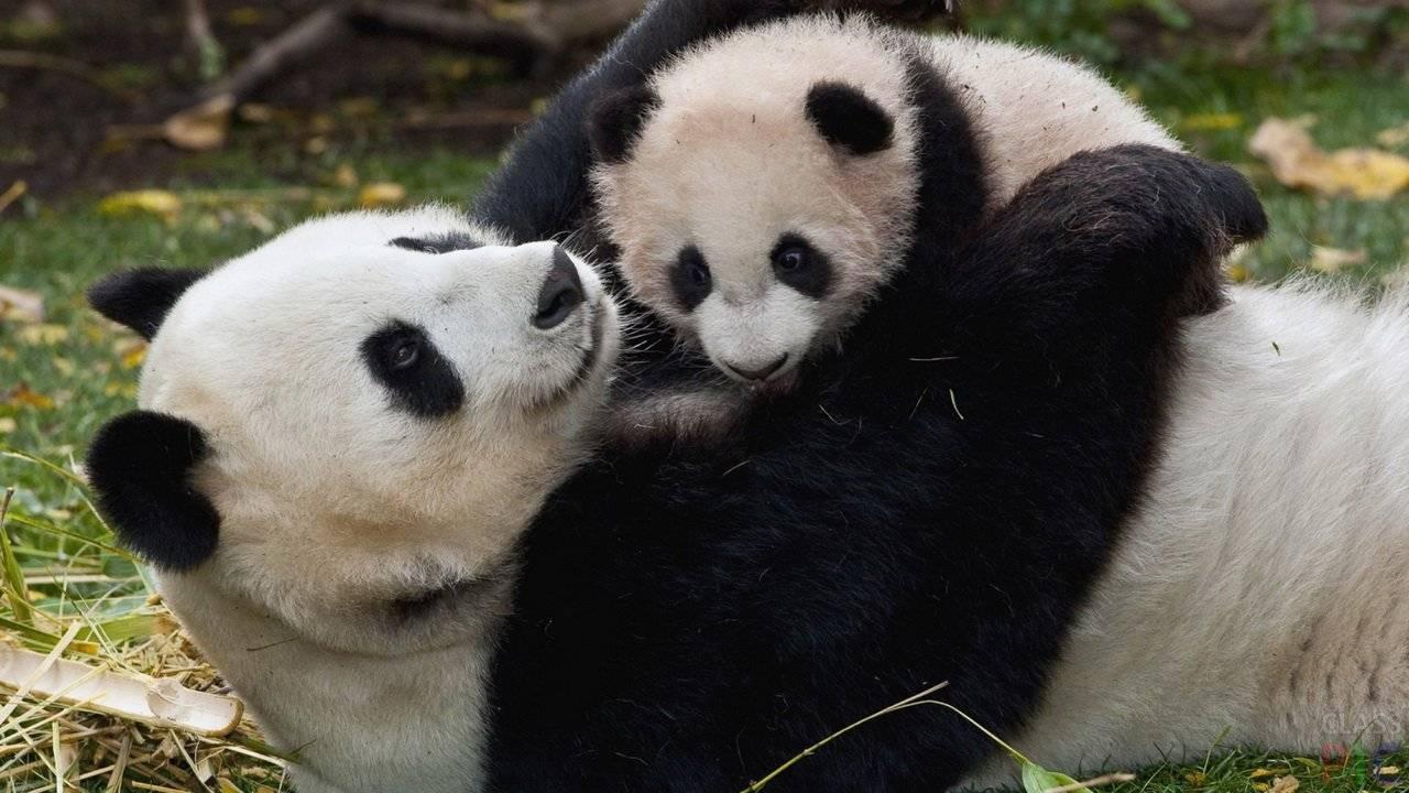 Как выглядит панда фото