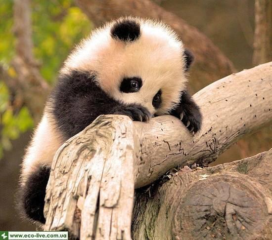 Как появились панды