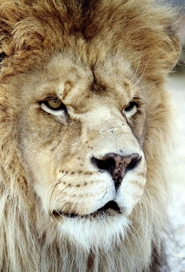Берберский лев