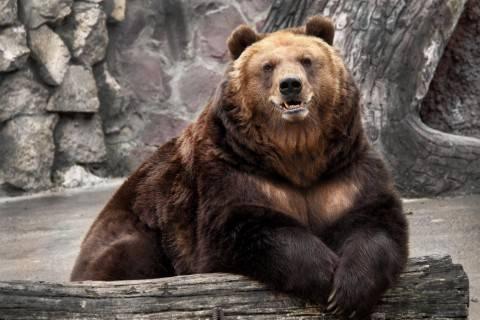 Как выглядит белый медведь