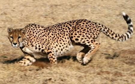 Самый быстрый зверь на планете