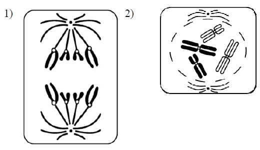 В какую фазу митоза образуется веретено деления