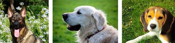 Сочинение на тему моё домашнее животное собака