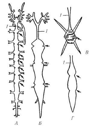 Дыхательная система паукообразных