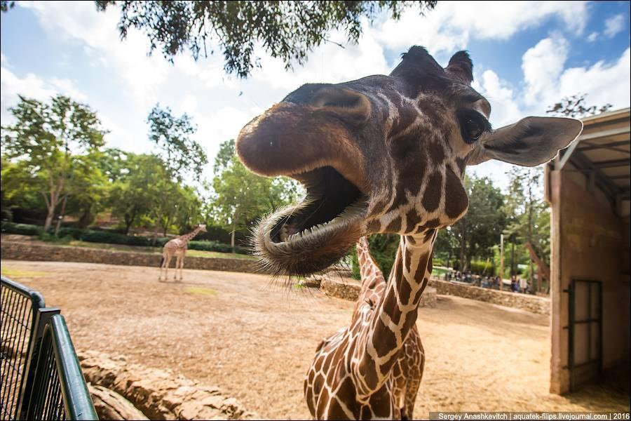 Язык жирафа фото