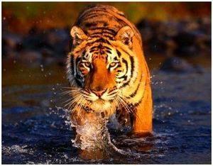 Как охотится тигр