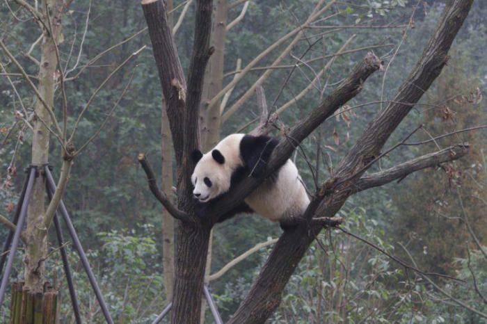 Агрессивная панда
