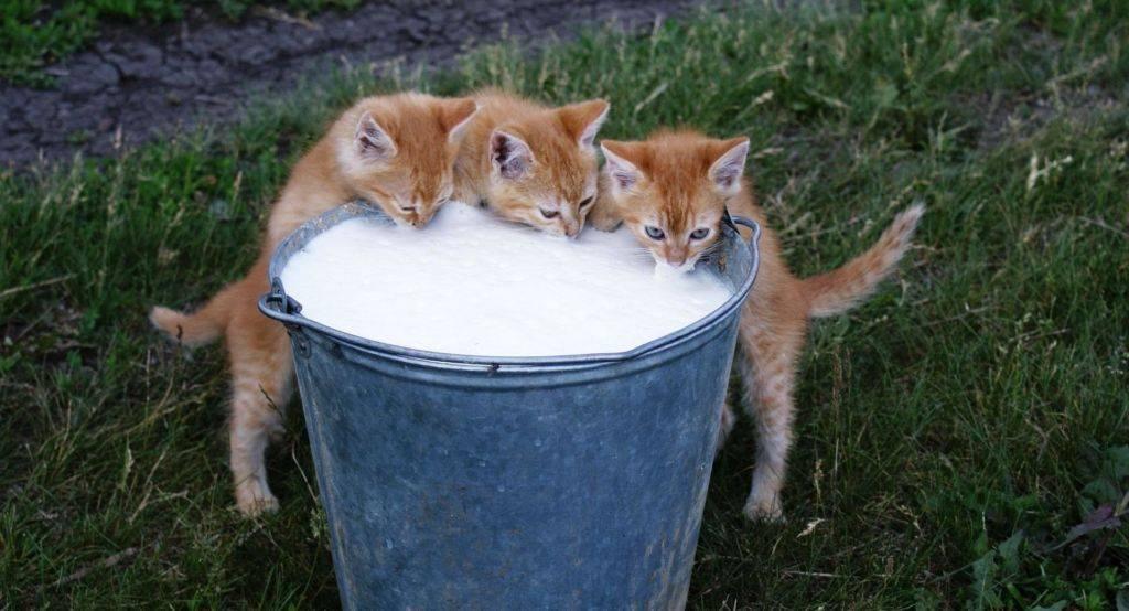 Кошка пьет молоко