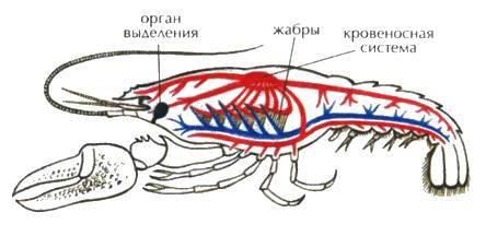 Систематика речного рака
