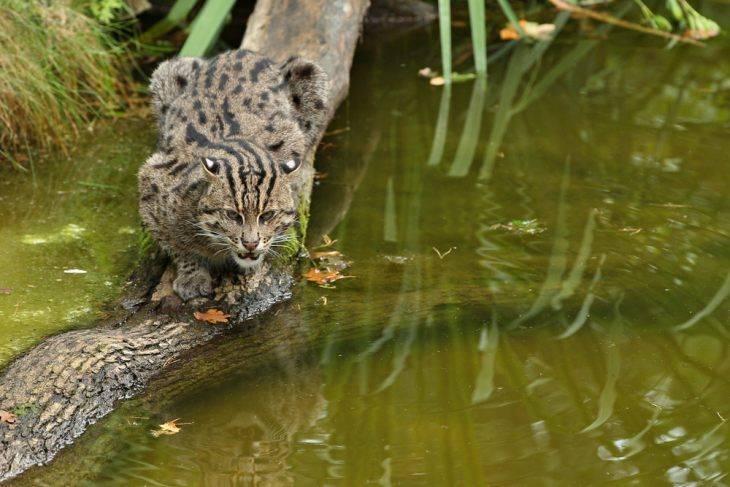 Виверровый кот рыболов фото
