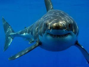 Акула мако скорость при нападении