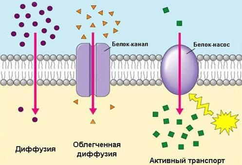 Схема строения клеточной мембраны
