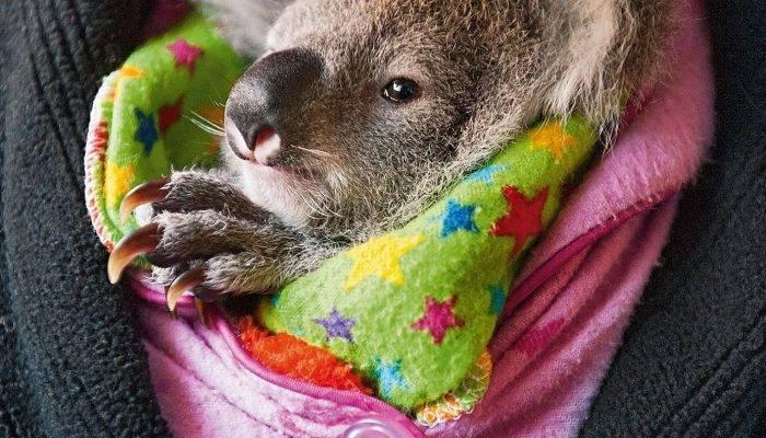 Что едят коалы кроме эвкалипта