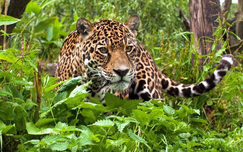 Жизнь леопарда