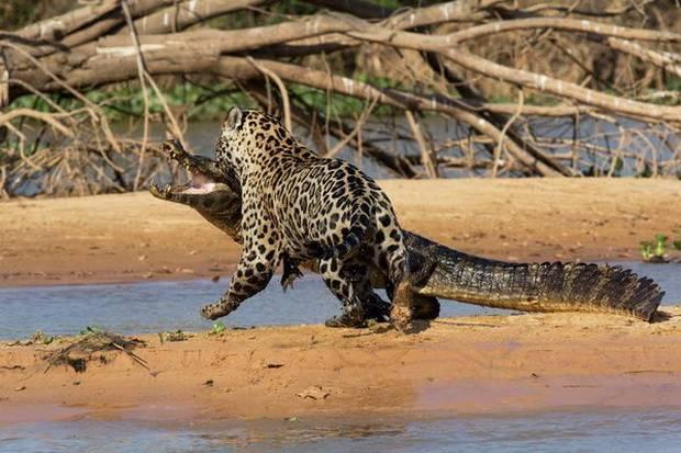 Ягуар на охоте