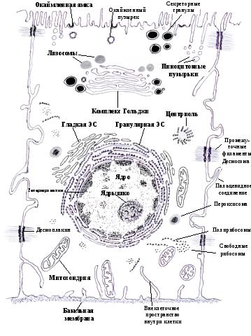 Цитоскелет рисунок
