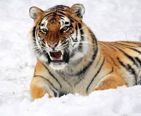 Вымершие тигры