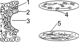 Установите последовательность процессов фотосинтеза