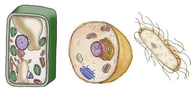 Эукариотические клетки в которых нет ядра