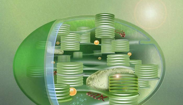 Какую функцию выполняют хлоропласты в клетке