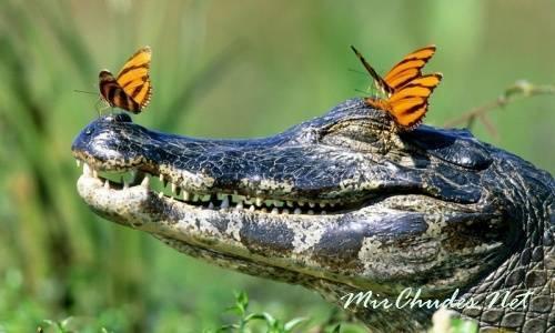 Скорость бега крокодила на суше