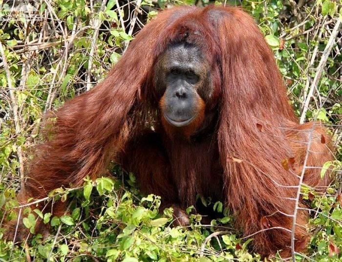 Сколько живут орангутанги