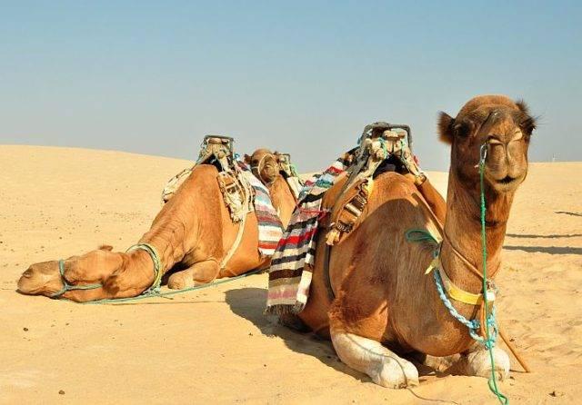 Сколько верблюд может прожить без воды