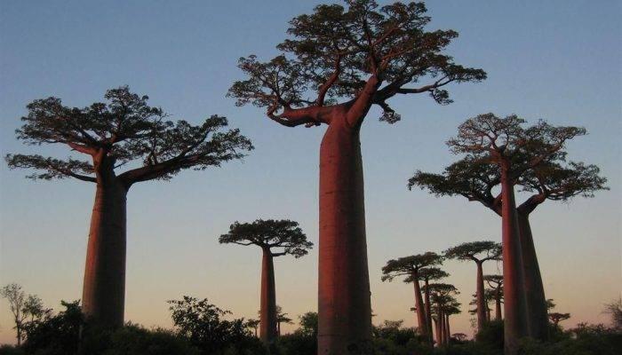 Сообщение про дерево баобаб