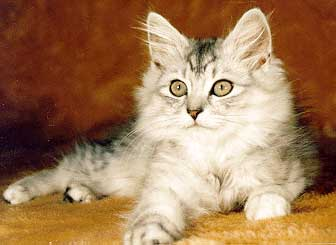 Courtesy of the American Cat Fanciers Association КОШКА сибирской породы