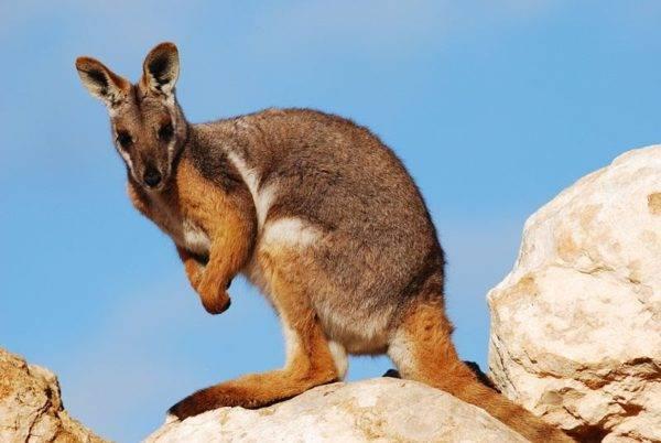 Живность австралии