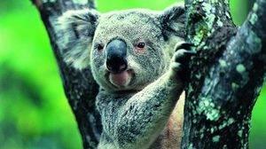 Где живет коала материк