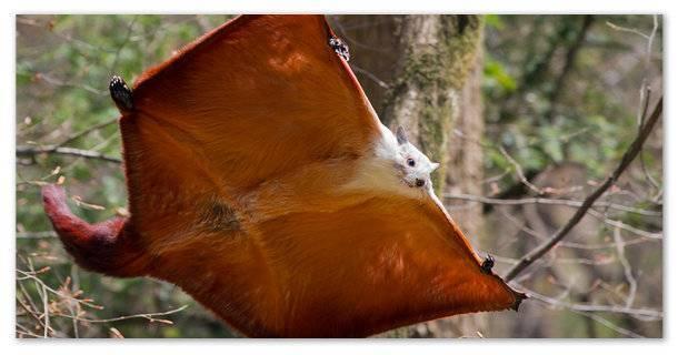Проект про белку летягу