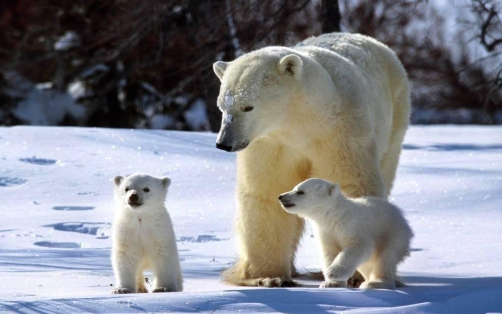 Белый медведь ест тюленя