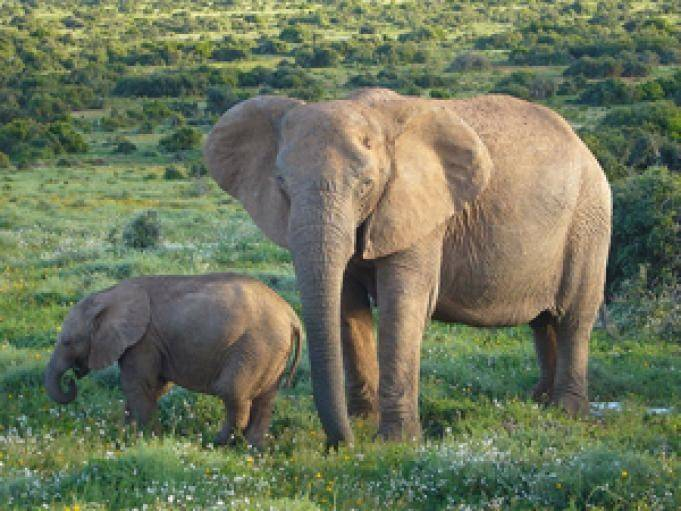 Африканский слон описание