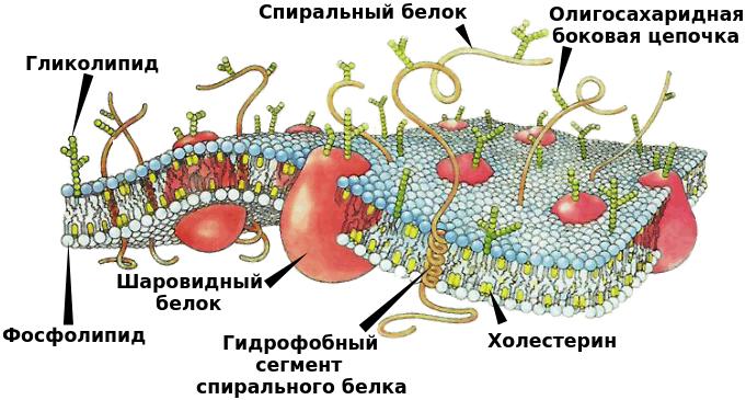 Строение клеточной мембраны рисунок