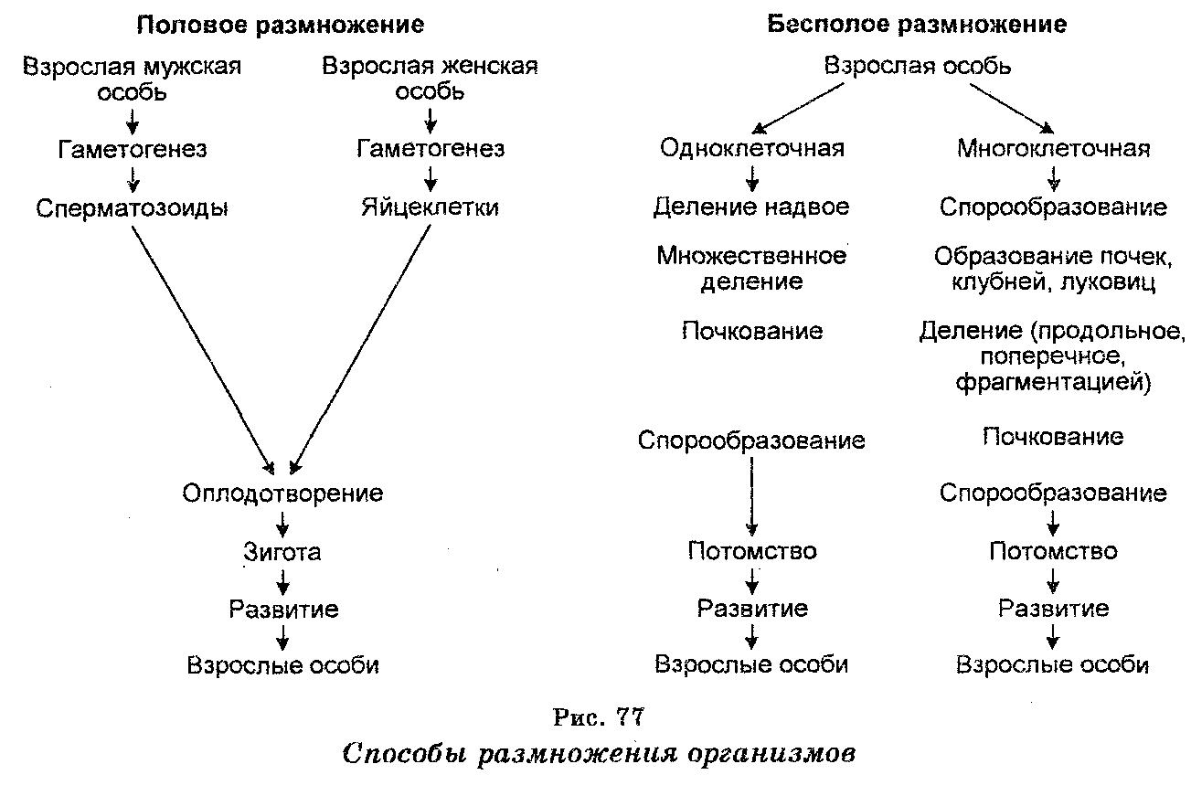 Перечислите периоды митотического цикла