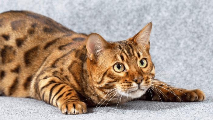 Порода кошек пятнистая как леопард