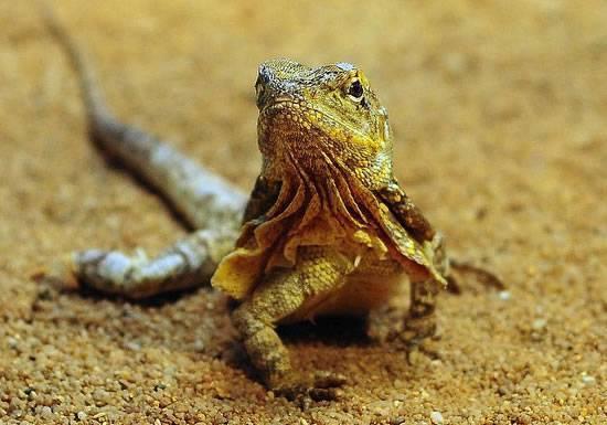 Австралийская ящерица