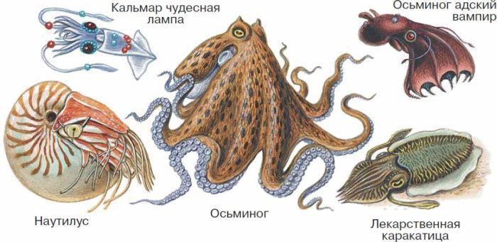 Размеры моллюсков