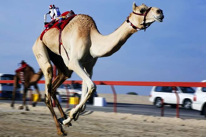 Интересные факты о верблюдах для детей