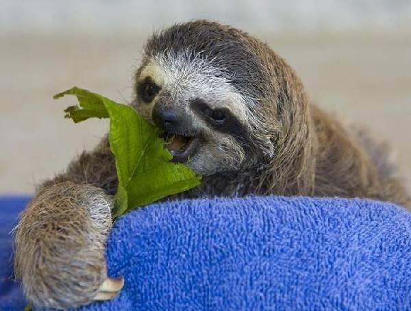 Как выглядит ленивец фото