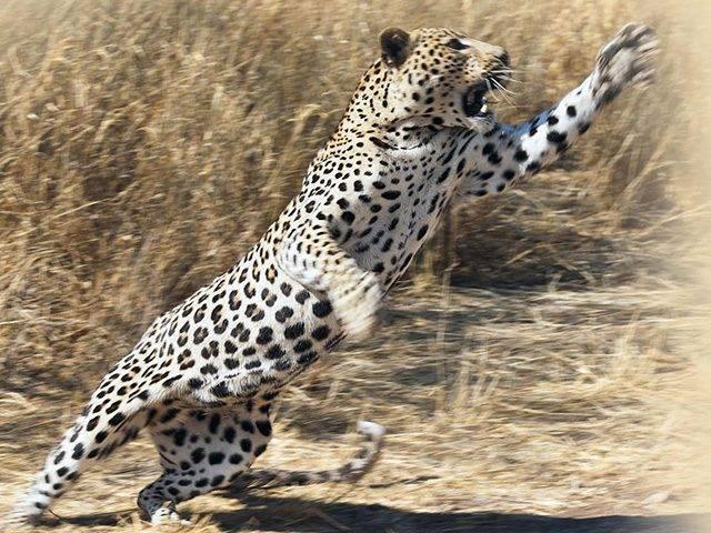 Леопард охотится