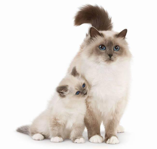 Бирманская кошка характер