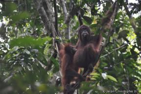 Где живут орангутанги